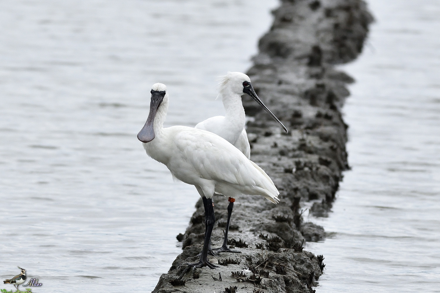Black-faced_Spoonbill_5233
