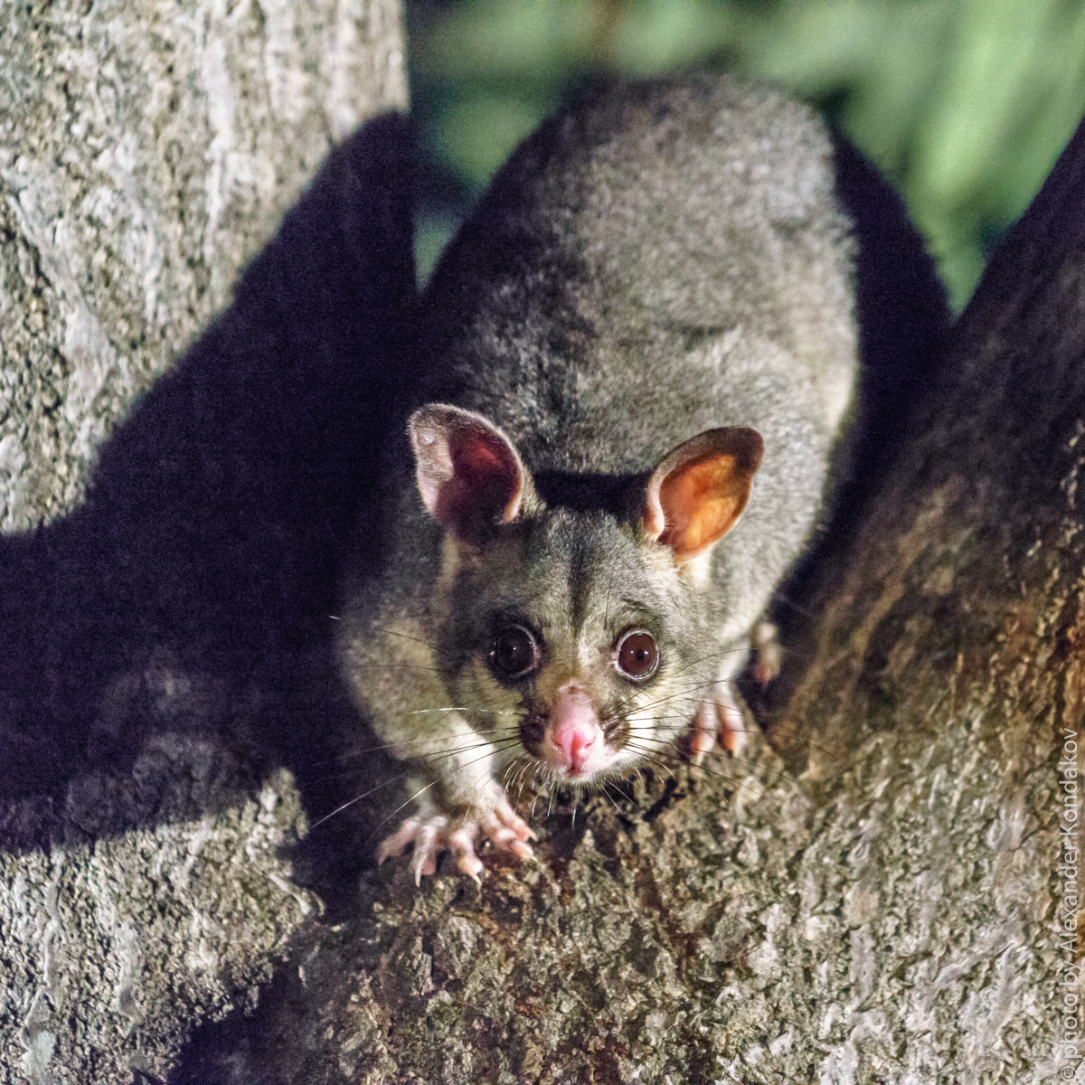 Brushtail possums