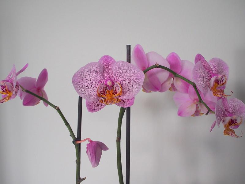orkidea aikuisten kaverikirja