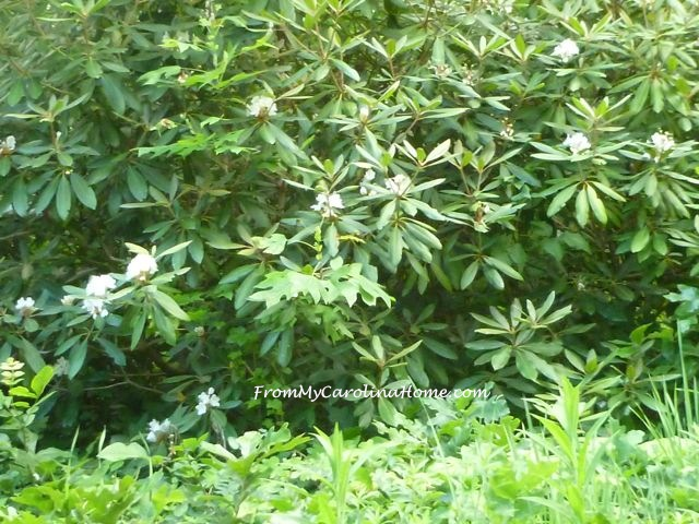 White Rhododendrons - 1