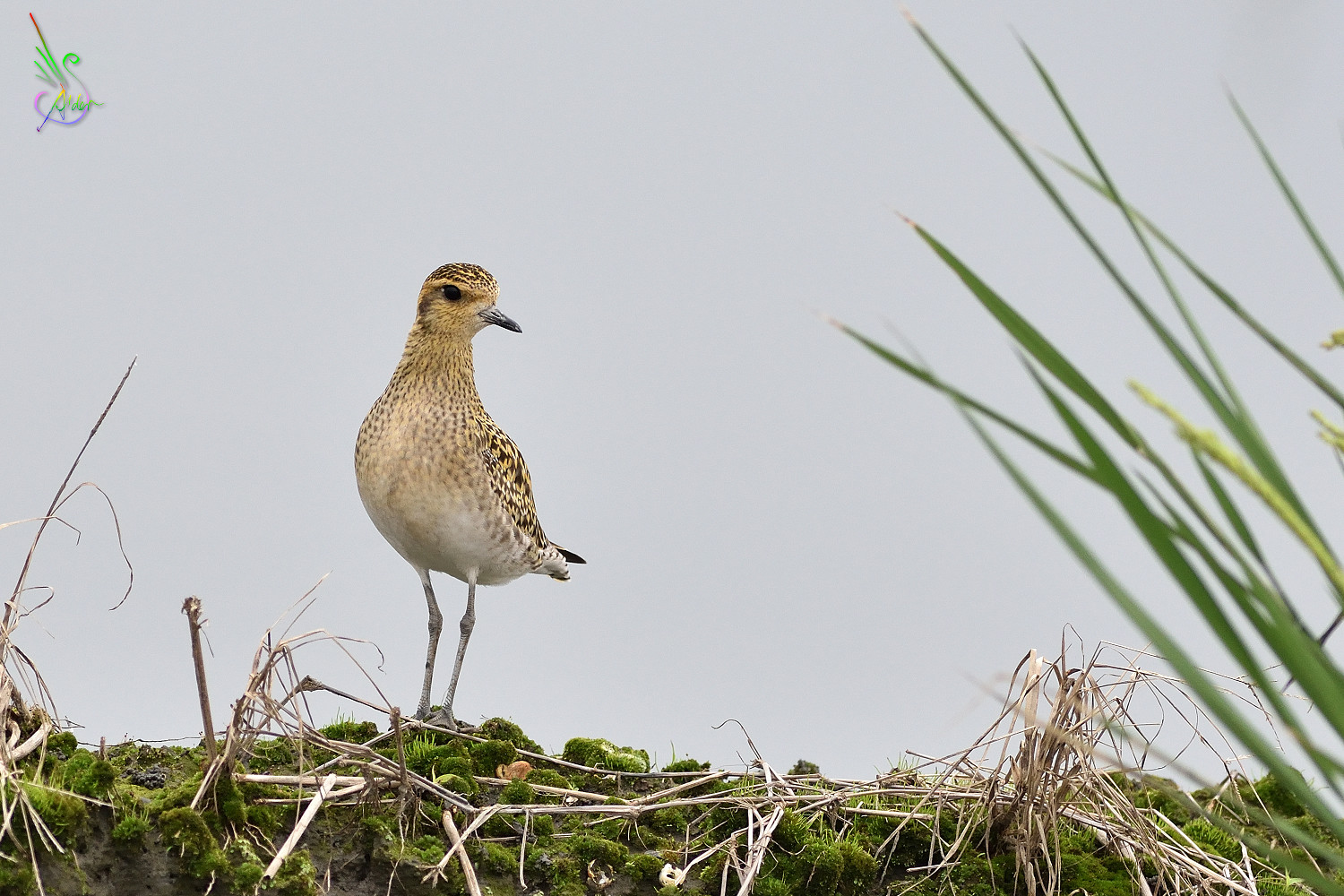 Pacific_Golden_Plover_6346