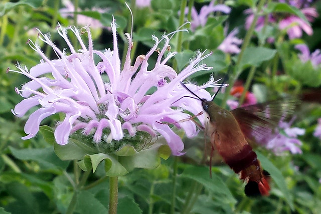 brown, black, and red fuzzy moth with its proboscis in a bee balm