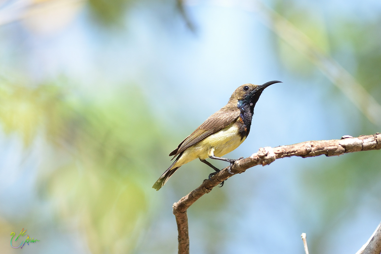 Olive-backed_Sunbird_9148