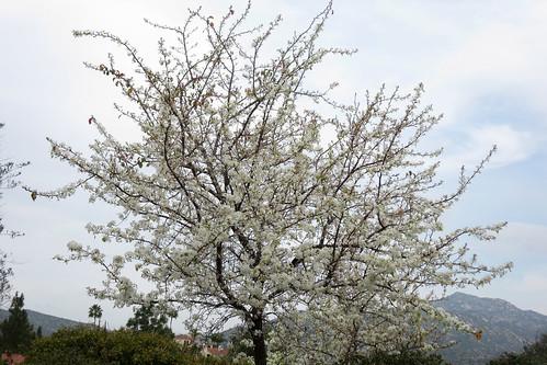 tree in bloom #3