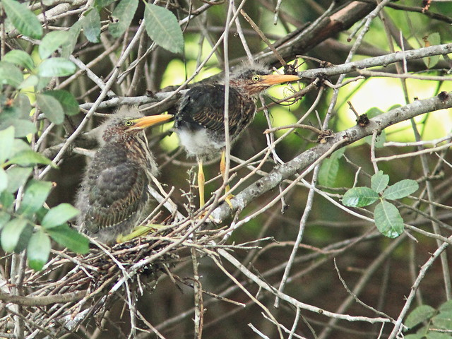 Green Heron nestlings nest 7.5 2-20150605