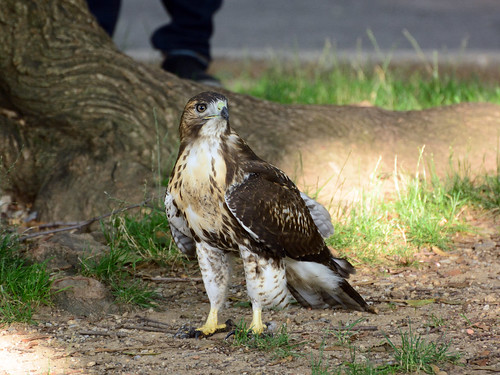 JHW Hawk Fledgling - 4248