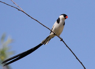 Pin-tailed Whydah | by mattag2002