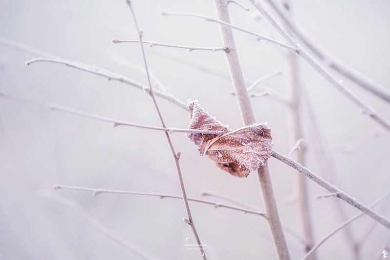 Lonely frozen leaf in winter