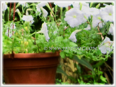 Pure white-coloured Petunias at a garden nursery in the neighbourhood, 29 May 2013