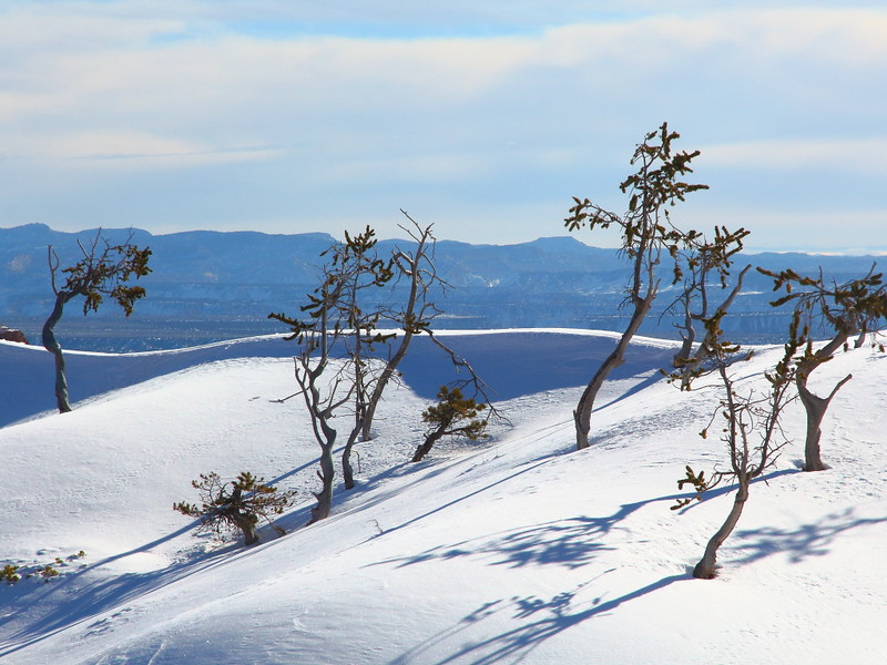 IMG_8832 Bristlecone Pine