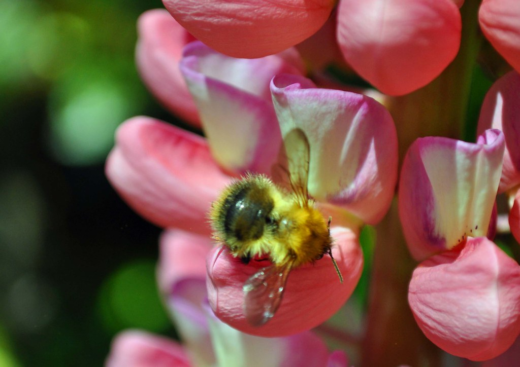Bee, on the lupins