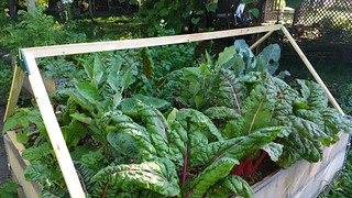 Still lots of chard in the raised beds | by karen_hine