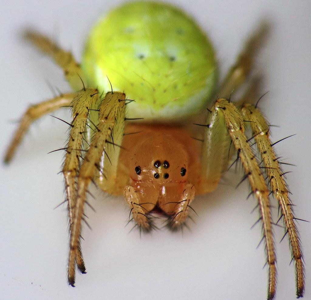 Araniella cucurbitina sensu lato | Beautiful green spider
