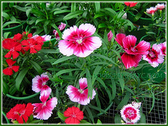 Many more coloured flowers of Dianthus barbatus, seen at a garden nursery