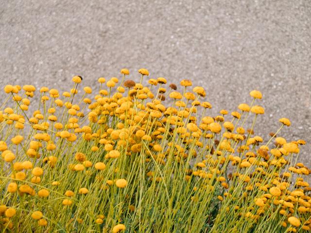 chamomile flowers in llanishen