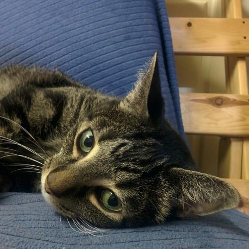 Shakespeare, reclining #toronto #shakespeare #cats #catsofinstagram #caturday