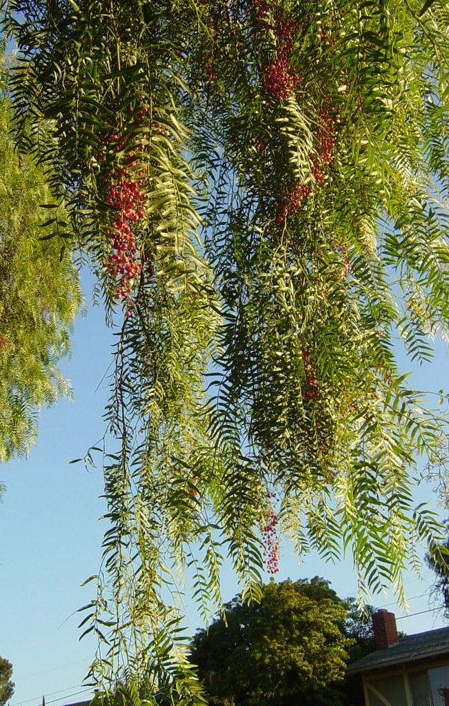 california pepper tree with fruit california pepper tree