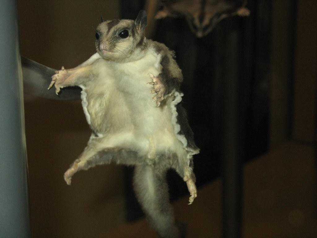 Flying Squirrel Smithsonian Museum Of Natural History Wa
