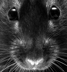 Rattus Norvegicus | by Invisible1955