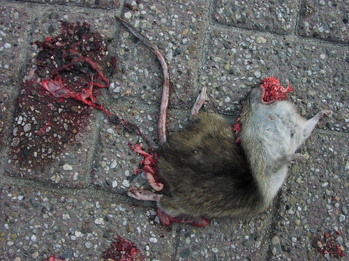 The fast death of neighbour Rat | by C M