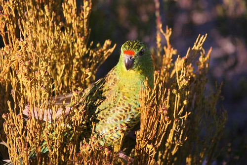 Western Ground Parrot WA | This image took me two years to ...
