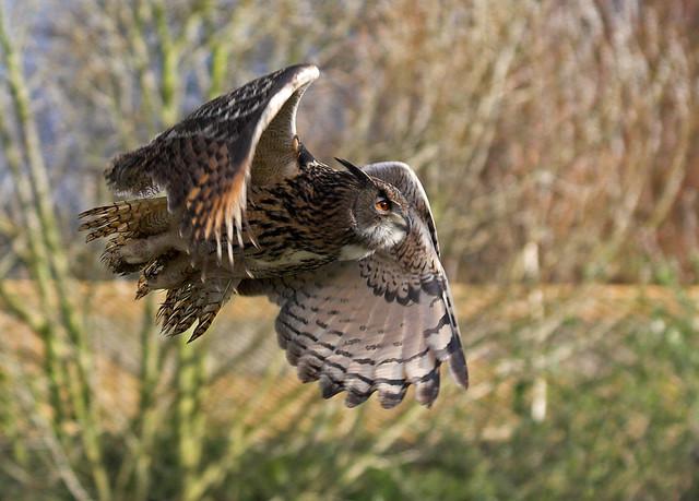 Great Grey Owl Flying Flying Owl | Brian Sco...