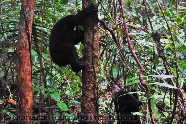 17.09.16._Sun Bear Cub Release_CGD_62_Lensa Cicilia, John Kobar_wm