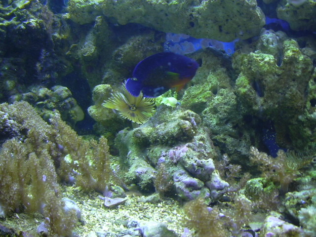 Feather Duster Worm Baby Coral beauty wi...