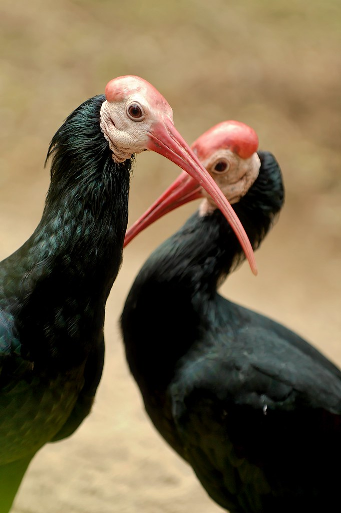 Ic Animal Tarot Cards: Crossing Swords With The Bald Ibis, San Diego Wild Animal