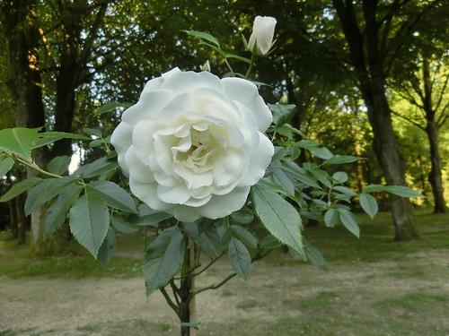 2015-06-04 19.22.21 rose fée des neiges
