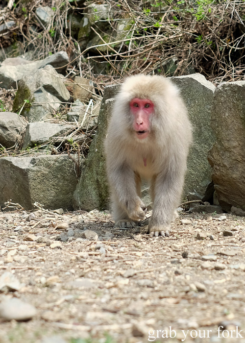 Snow monkey at Jigokudani Monkey Park in Nagano, Japan