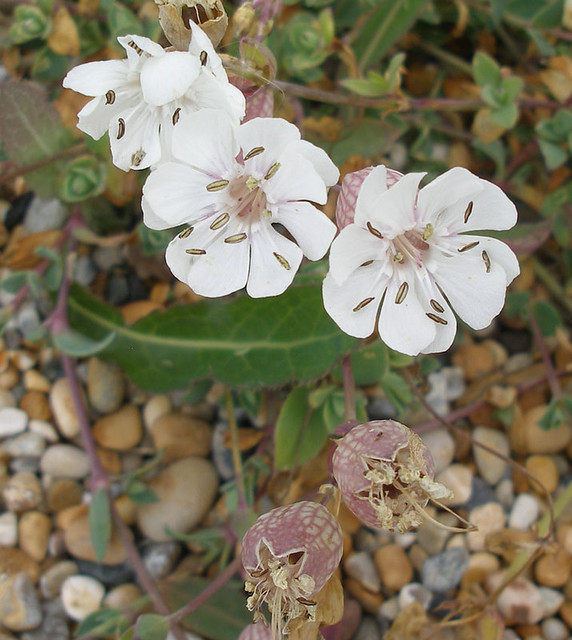 Sea Campion at Cogden Beach