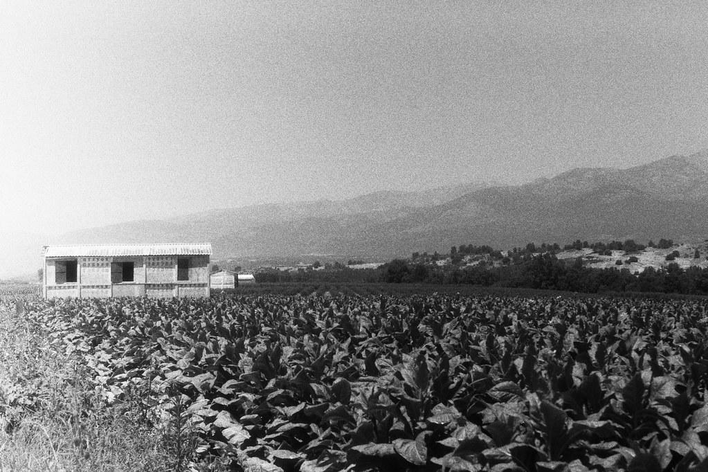 Campo de tabaco VII.