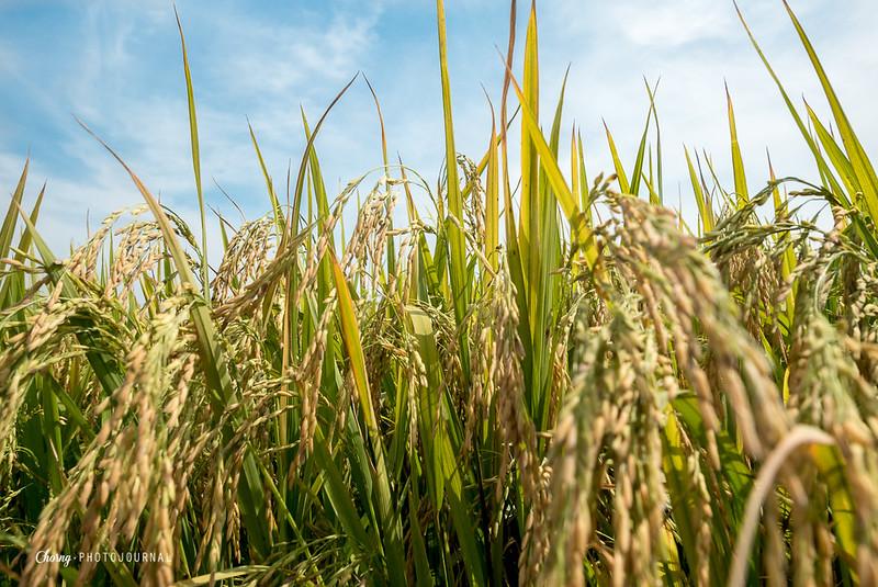 paddy field sekinchan