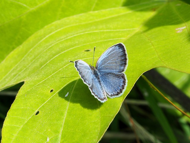 Silver-studded blue butterfly (Plebejus argus, ヒメシジミ)
