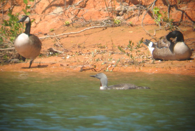 Red-throated Loon (record shot)- Kerr Reservoir, Mecklenburg Co., Va  6-21-15