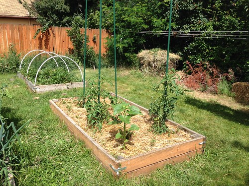 Tomatoes, safely pruned and staked, plus volunteer sunflower