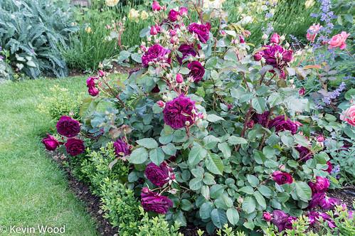 rose munstead wood david austin rose kevin wood flickr. Black Bedroom Furniture Sets. Home Design Ideas