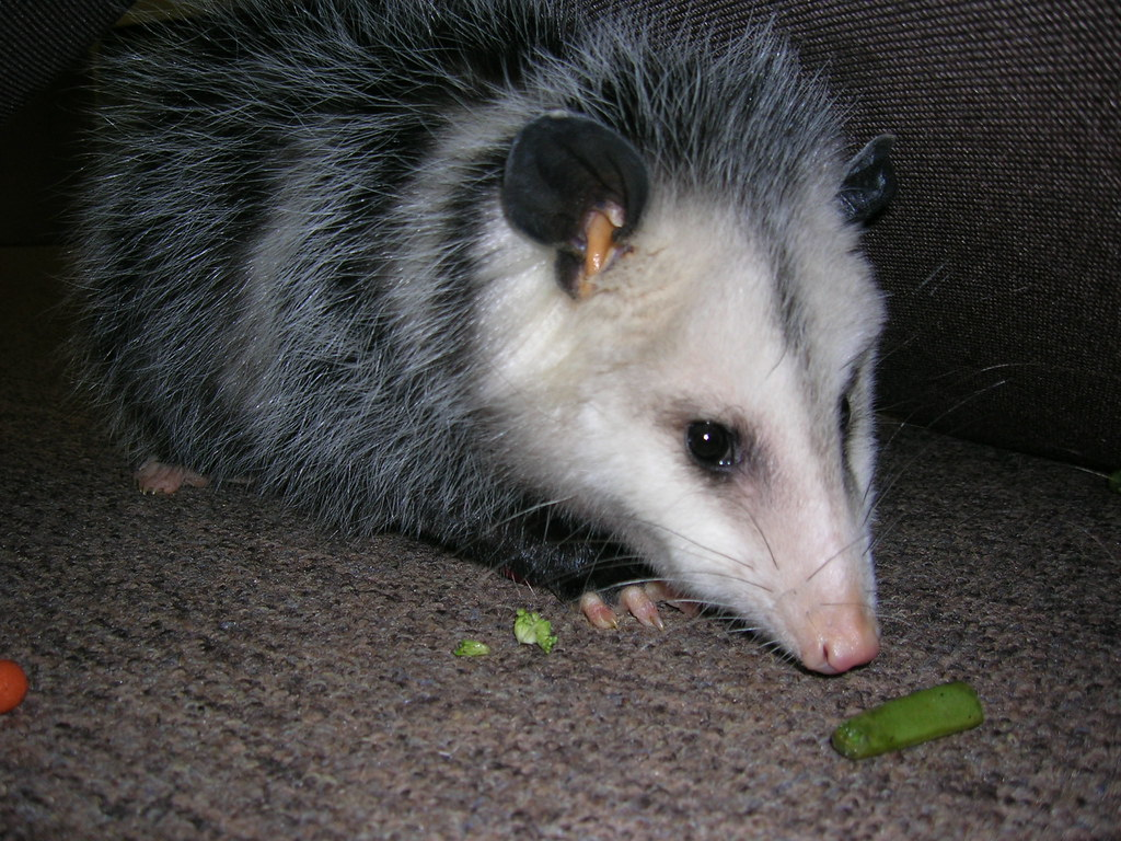 how to get rid of a possum in backyard