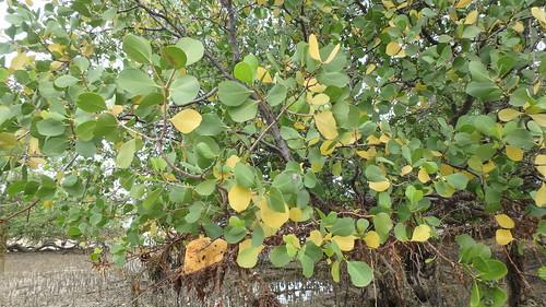 Perepat (Sonneratia alba) with yellowing leaves