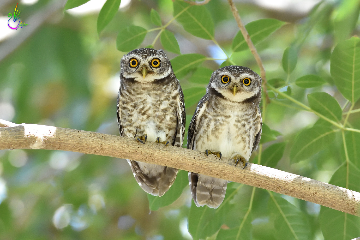 Spotted_Owlet_9374
