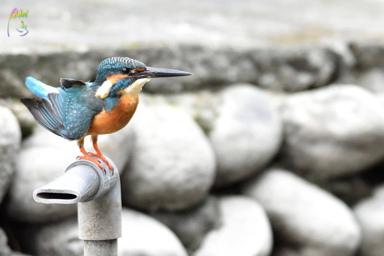 Common_Kingfisher_0995