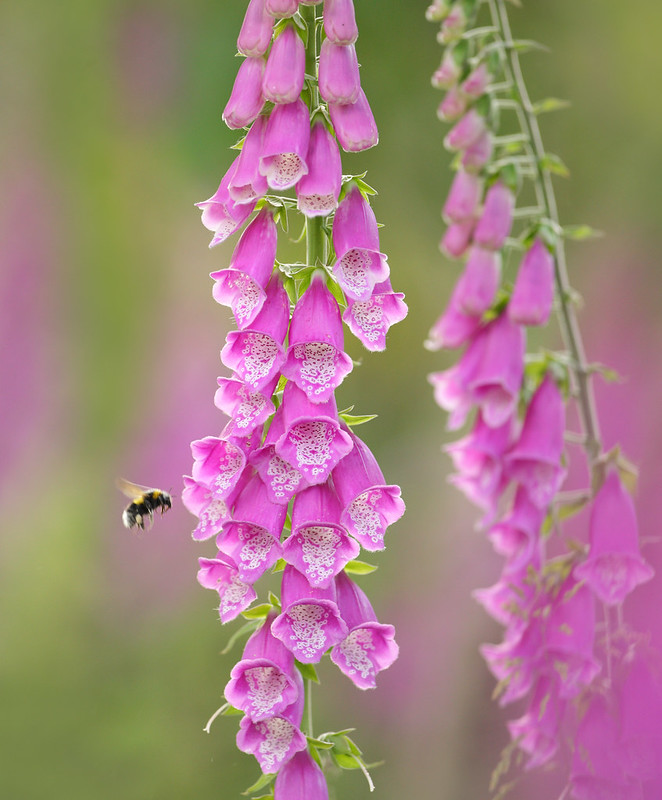 Bumble Bee and Wild Foxgloves