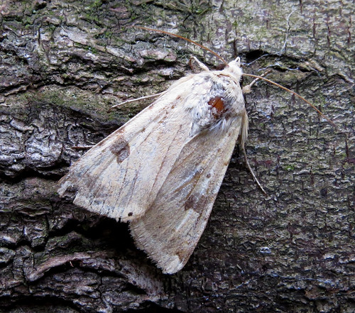 Bordered Straw Heliothis peltigera Tophill Low NR, East Yorkshire June 2015