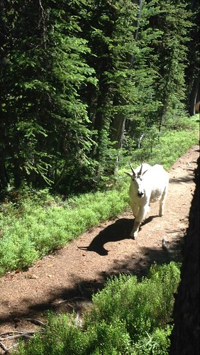 Mountain goat on the trail to Black Lake
