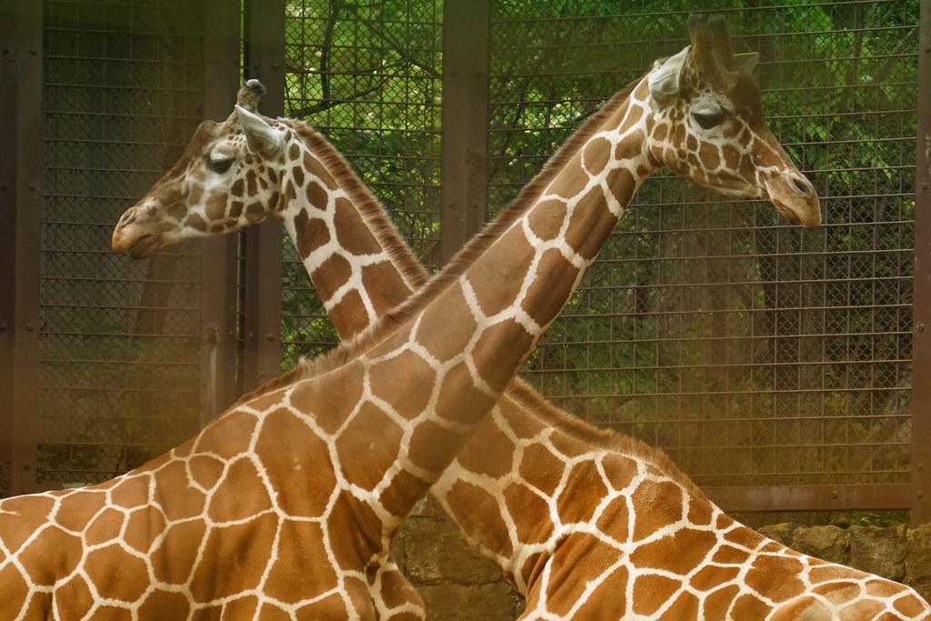 動物園的長頸鹿。Yusuke Umezawa(CC BY 2.0)