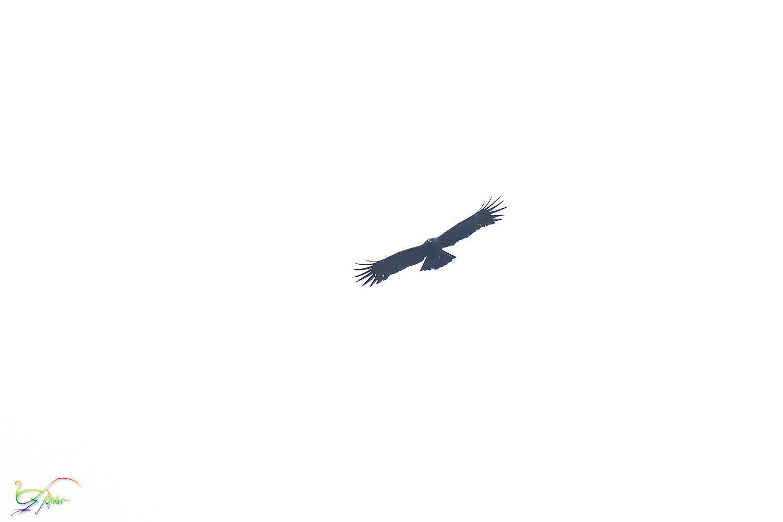 Black_Eagle_8019