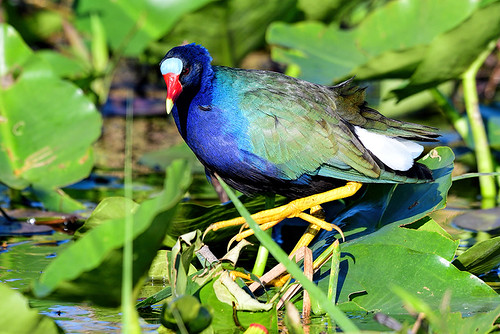 FL: Purple Gallinule, or Just Purple