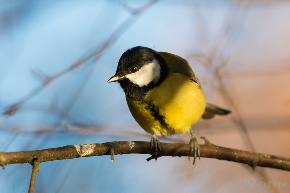 Rasvatihane, tihane, Parus, major, Great, Tit, Estonia, Kaido Rummel
