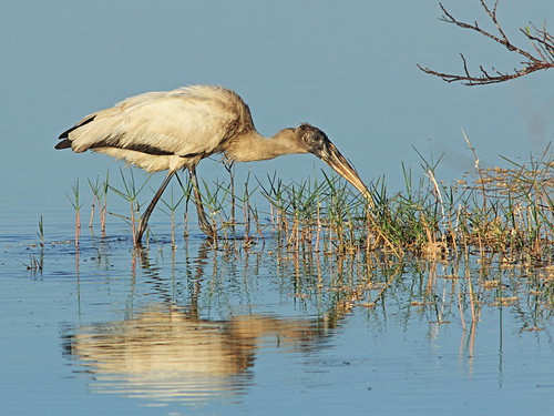 Wood Stork immature 3-20150122